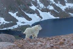 высокогорная гора козочки Стоковая Фотография RF