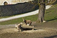 Высокогорная еда ibexes Стоковое Фото