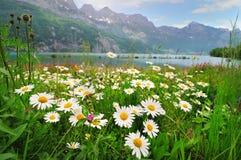 высокогорная маргаритка цветет озеро ближайше стоковая фотография rf