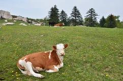 Высокогорная провинция Цзилиня скотин выгона Стоковая Фотография