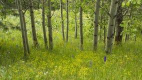 Высокогорная роща Aspen Стоковое Фото