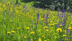 Высокогорное цветене луга цветка полностью стоковое изображение rf