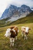 Высокогорные коровы пася в луге в Альпах в Швейцарии снова Стоковые Изображения