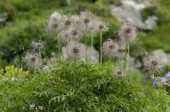 высокогорные семена pasque цветка стоковая фотография rf