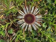 Высокогорные серебряные acaulis Carlina цветка thistle растя на горной вершине внутри Стоковые Фото