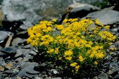 высокогорные цветки Стоковая Фотография RF