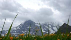 высокогорные цветки Wengen, Швейцария акции видеоматериалы