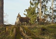 Высокогорные ibexes - мать с младенцем Стоковое Фото