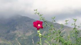 Высокогорный ландшафт с красным цветком видеоматериал