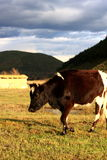 высокогорный лужок коровы Стоковые Фотографии RF