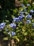 Высокогорный макрос цветков незабудки стоковая фотография rf
