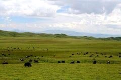 Высокогорный пейзаж злаковика на плато Цинхая Тибета Стоковые Изображения