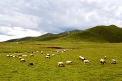 Высокогорный пейзаж злаковика на плато Цинхая Тибета Стоковая Фотография RF