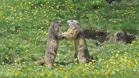 Высокогорный сурок, marmota marmota, взрослые играя или воюя, Франция, сток-видео