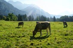 Высокогорный луг, Австрия Стоковые Изображения