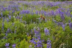 Высокогорный луг Lupine Стоковое Изображение RF