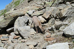 Высокогорный ibex в одичалой природе на утесах Стоковые Фотографии RF