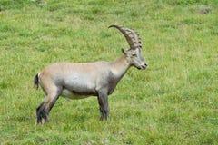 Высокогорный Ibex Стоковое Изображение RF