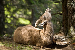 высокогорный ibex Стоковые Изображения RF
