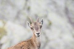 Высокогорный ibex Стоковое Изображение