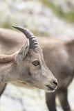 Высокогорный ibex Стоковая Фотография