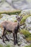 Высокогорный ibex Стоковая Фотография RF