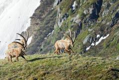 Высокогорный Ibex - ibex Capra, Альпы, Австрия Стоковые Изображения
