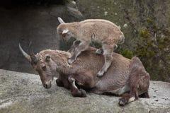 Высокогорный ibex ibex Capra ibex Стоковая Фотография