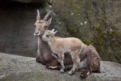 Высокогорный ibex ibex Capra ibex Стоковая Фотография RF