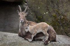 Высокогорный ibex ibex Capra ibex Стоковое Изображение