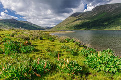 Высокогорный lakeshore с rheum nobile Стоковые Фотографии RF