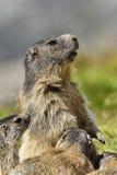 высокогорный marmot Стоковые Изображения