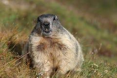 высокогорный marmot Стоковые Фото