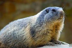 высокогорный marmot Стоковые Изображения RF