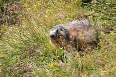 высокогорный marmot Стоковая Фотография