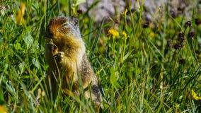 Высокогорный marmota Marmota сурка вид сурка найденный в горных областях централи и Южной Европы стоковая фотография rf