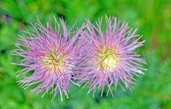 2 высокогорных цветка в цветени Стоковые Изображения RF