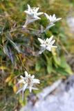 4 высокогорных цветка edelweiss Стоковое фото RF