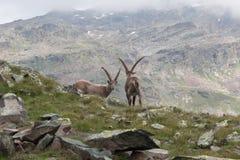 2 высокогорных Ibexes в итальянке Альпах Стоковая Фотография RF