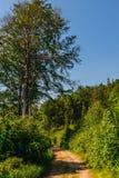 Высокое дерево на стороне дороги Стоковое Изображение RF