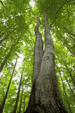Высокое дерево бука Стоковые Фото