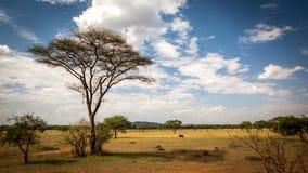 Высокое дерево на саванне Стоковые Изображения RF