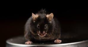 Высококалорийная вредная пища и брюзгливая мышь Стоковое Изображение RF