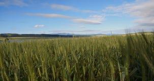 Высокорослая пшеница акции видеоматериалы
