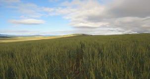 Высокорослая пшеница сток-видео