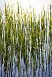 Высокорослая трава в пруде Стоковые Изображения