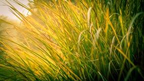 Высокорослая трава Стоковая Фотография