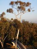 Высокорослое дерево евкалипта Стоковое Изображение RF