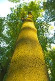 Высокорослое и толстое дерево, взгляд от дна Стоковое Изображение RF