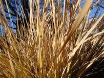 Высокорослое сухое небо взмаха травы на заднем плане голубое стоковое изображение